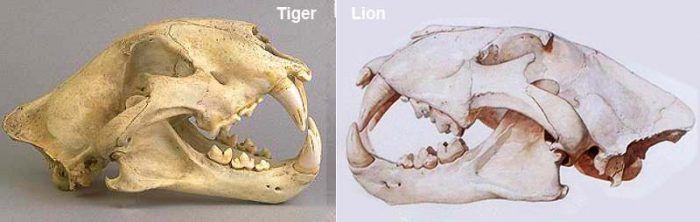 Череп тигра и льва