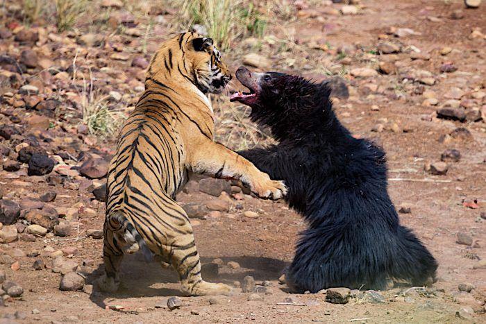 Тигр против медведя