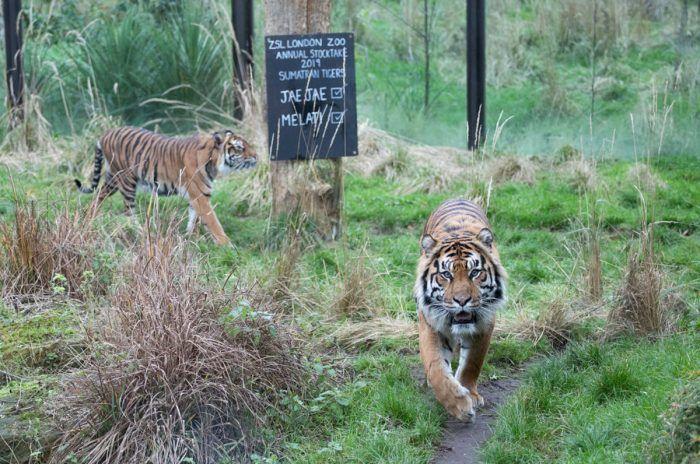 Тигр в национальном парке