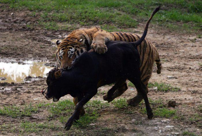 Тигр и теленок