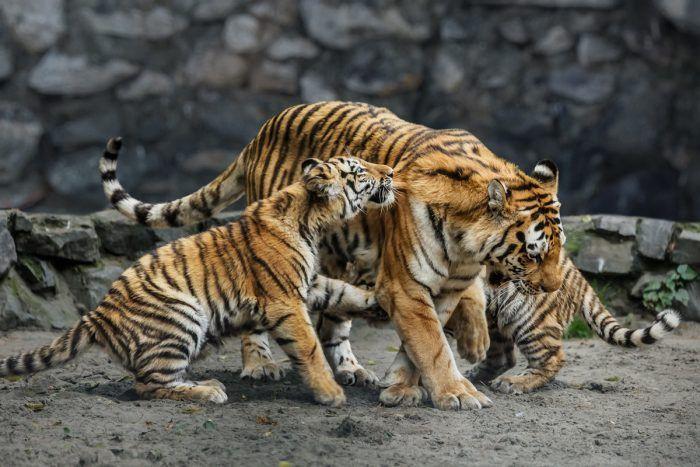 Тигрята и мама