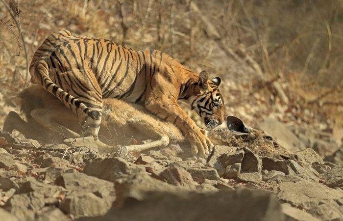 Тигр и добыча