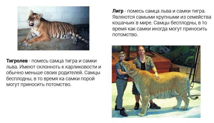 Гибриды льва и тигра
