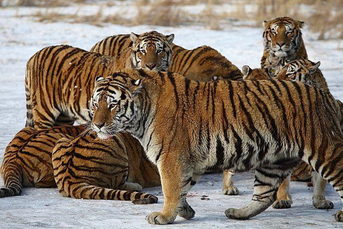 Тигры вместе