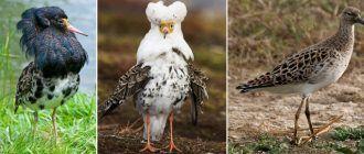 Три самца одной птицы