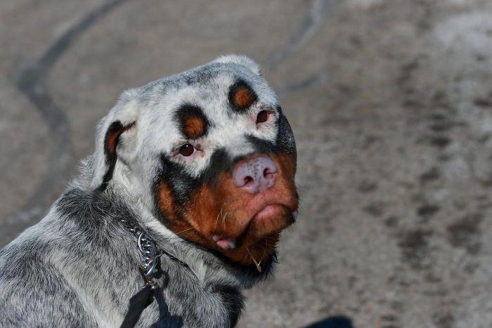 Собака с окрасом витилиго