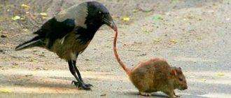 Ворона и крыса