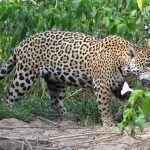 Снимок Ягуара