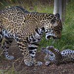 Ягуаресса и детеныш
