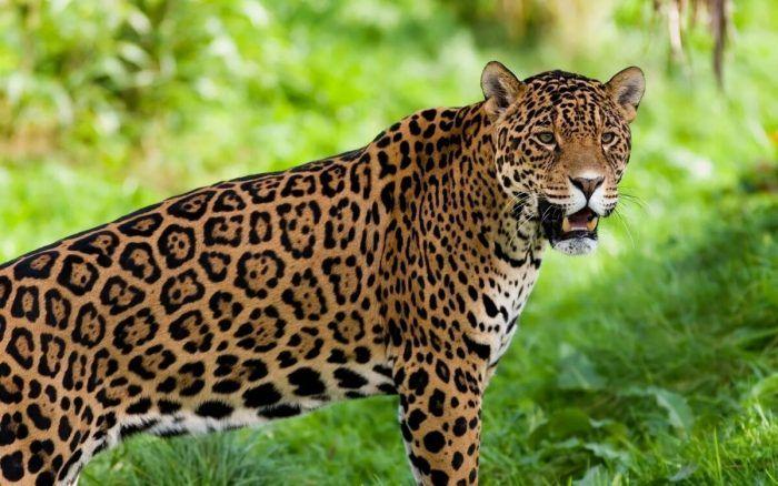 Ягуар на фоне зелени