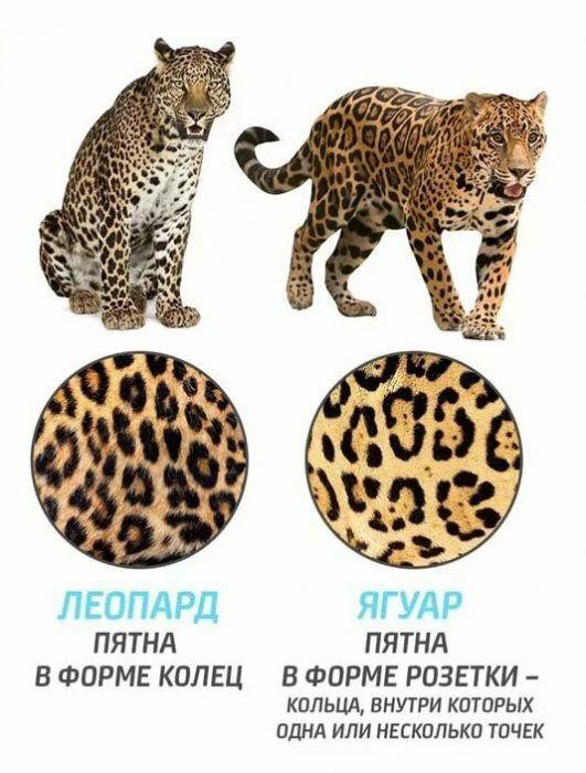 Пятна ягуара и леопарда