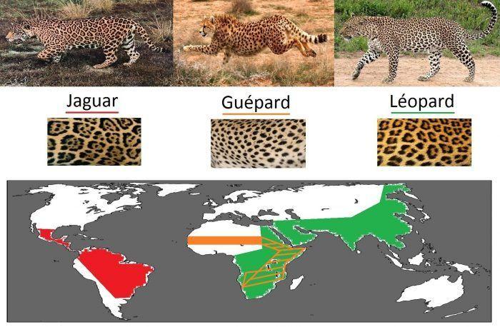 Ягуар, Леопард, Гепард