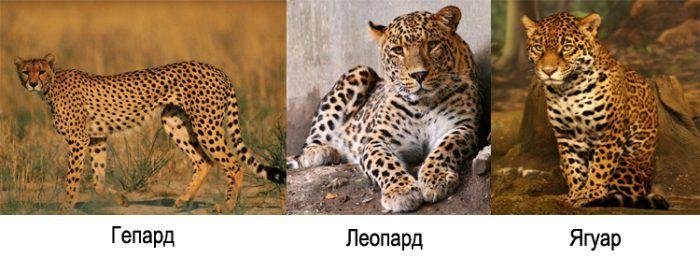 Гепард, леопард, ягуар