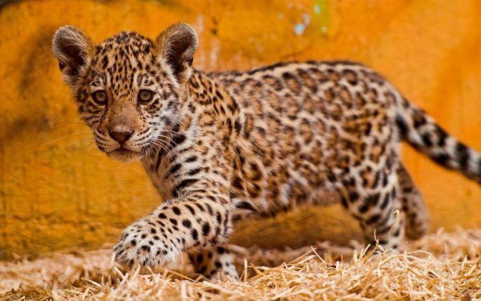 Котенок Ягуар