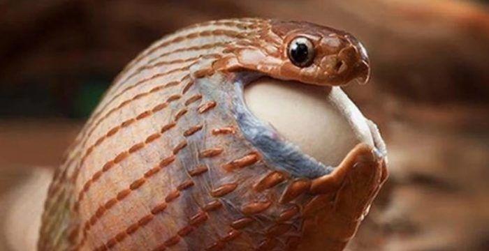 Огромный рот у змеи