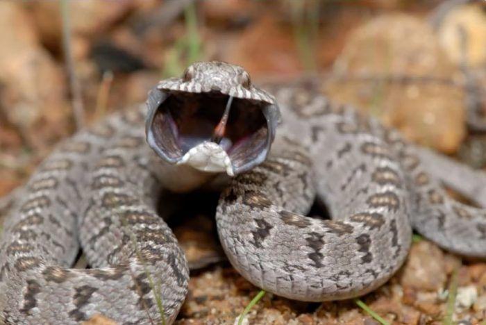 Змея пытается шипеть