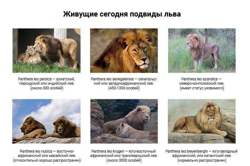 Живые подвиды льва