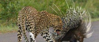 Дикобраз и леопард