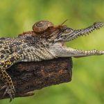 Улитка на крокодиле