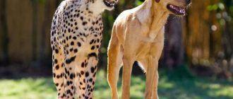 Гепард и собака