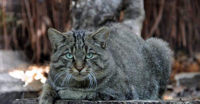 Дикий котик