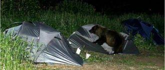 Медведь напал на палатку