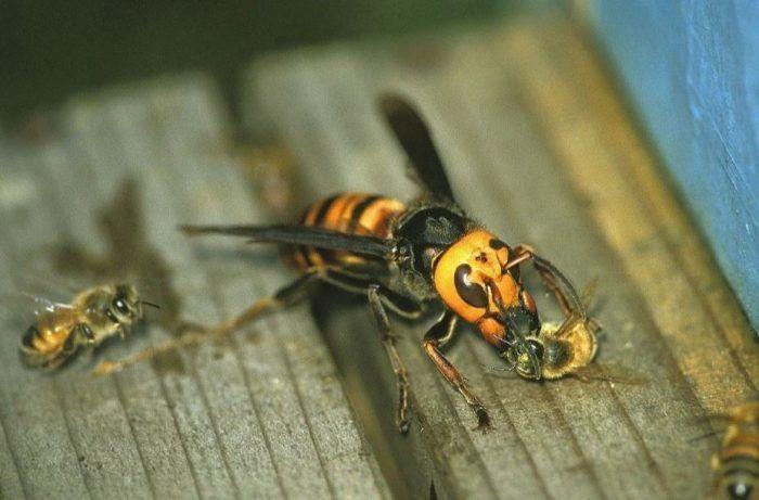 Пчелы и шершни