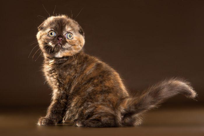 Черепаховый котенок