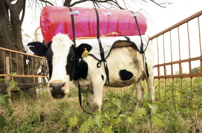 Метан от коровы