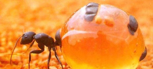 Брюшко с медом