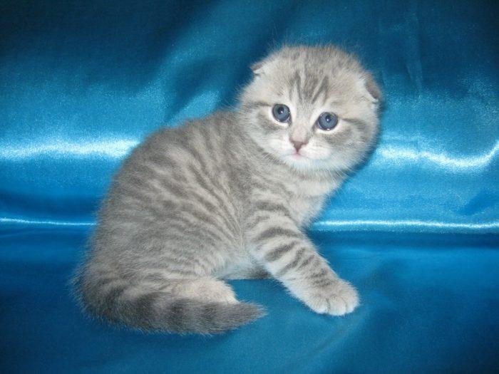 Серебристо-голубой окрас