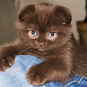 Шоколадная кошка