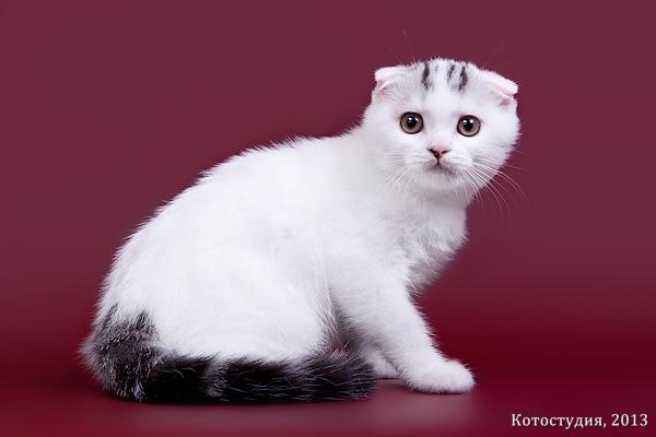 Окрас ван котик