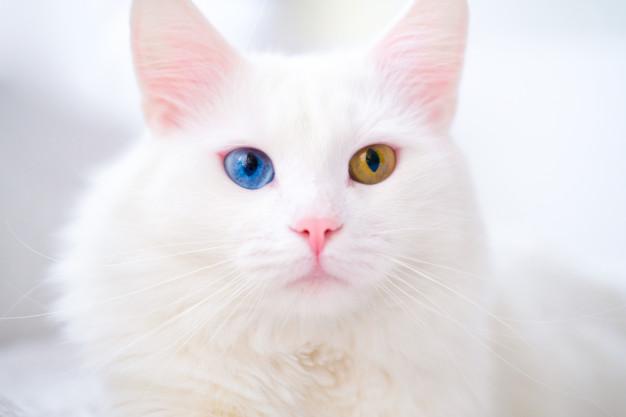 Белая кошечка с гетерохромией