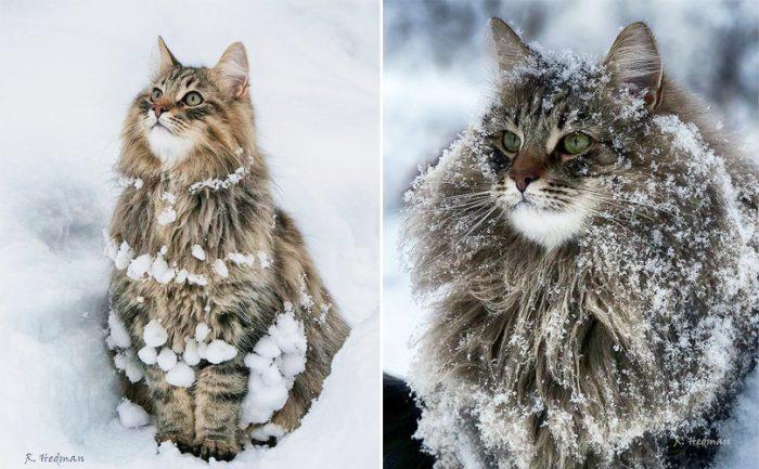 Норвежские котики