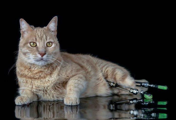 Кот Bитуццо с протезами