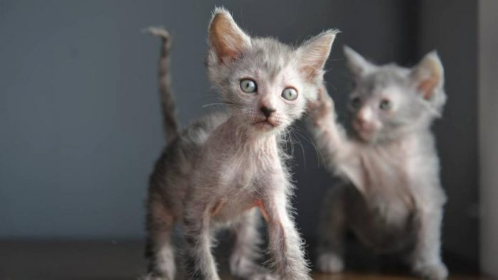 Котята породы ликои
