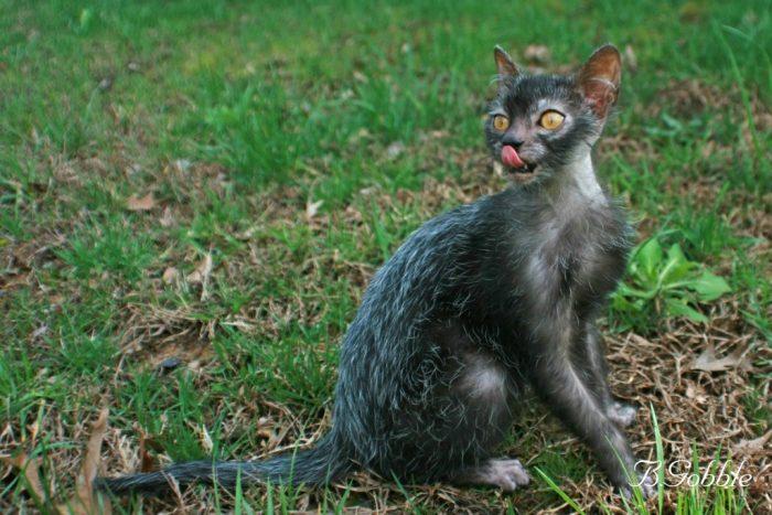 Кот породы ликои
