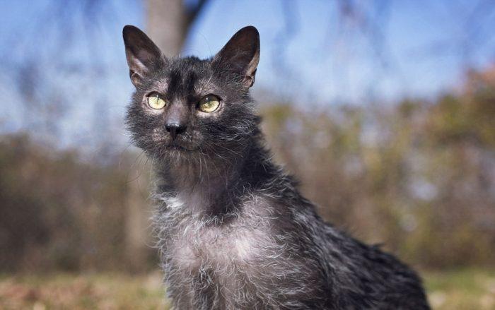 Кот породы ликой