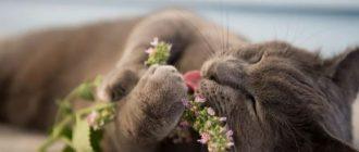 Действие кошачьей мяты