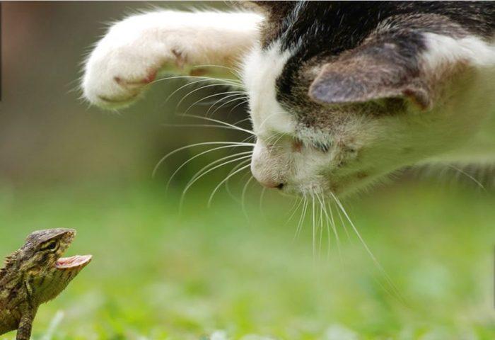 Кошка против рептилии
