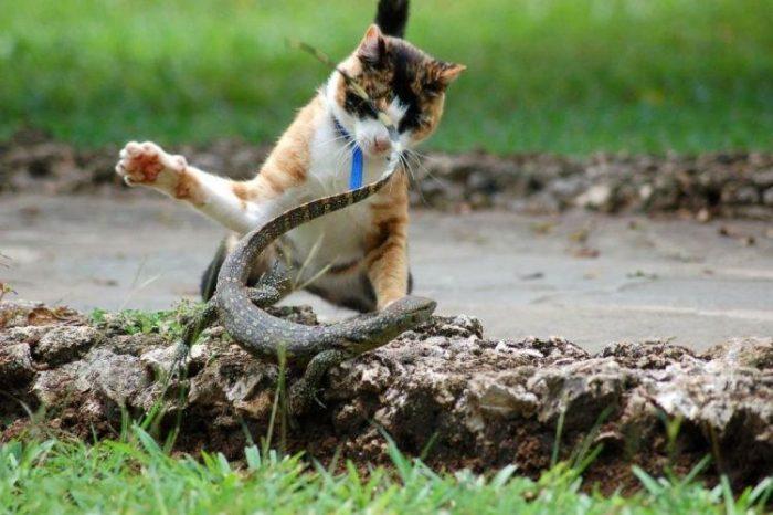 Драка кошки и рептилии