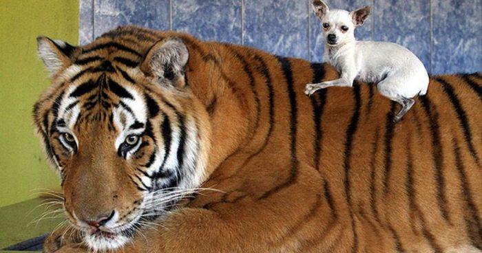 Домашний тигр с собачкой