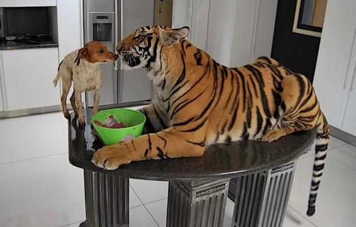 Тигр дома