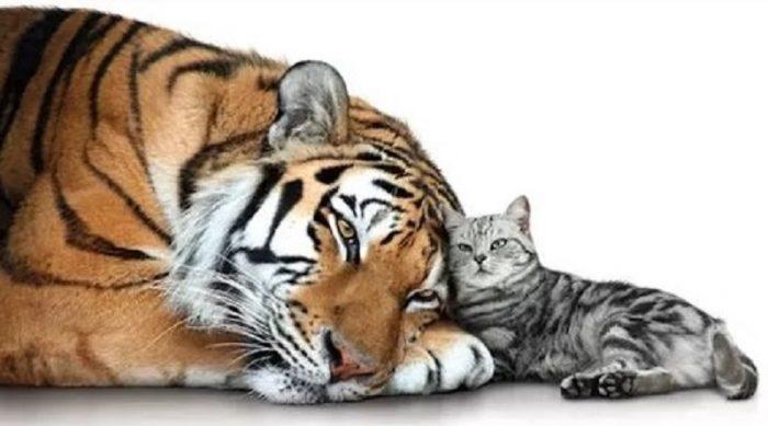 Тигр и кошка
